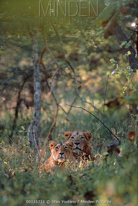 Asiatic Lion (Panthera leo persica) pair resting in grass, India  -  Shin Yoshino