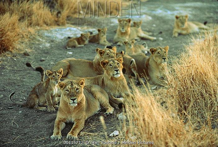 Asiatic Lion (Panthera leo persica) group resting, India  -  Shin Yoshino