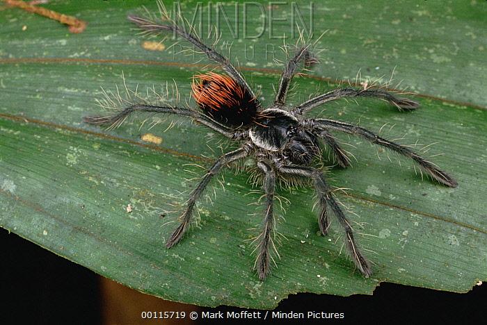 Unidentified juvenile Tarantula, Rio Mormon, Peru  -  Mark Moffett