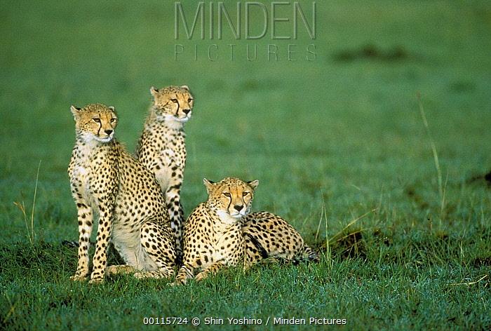 Cheetah (Acinonyx jubatus) trio resting in grassland, Kenya  -  Shin Yoshino