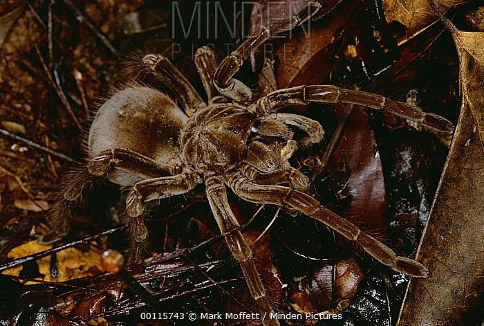 Tarantula (Megaphobema sp) portrait, Rio Momon, Peru  -  Mark Moffett