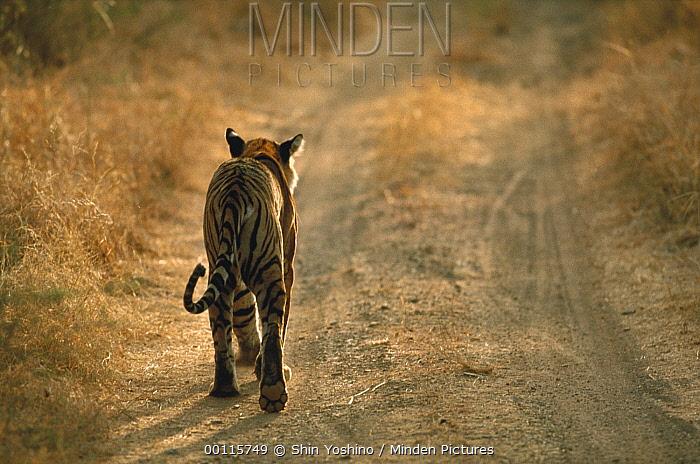 Bengal Tiger (Panthera tigris tigris) walking on dirt road, India  -  Shin Yoshino