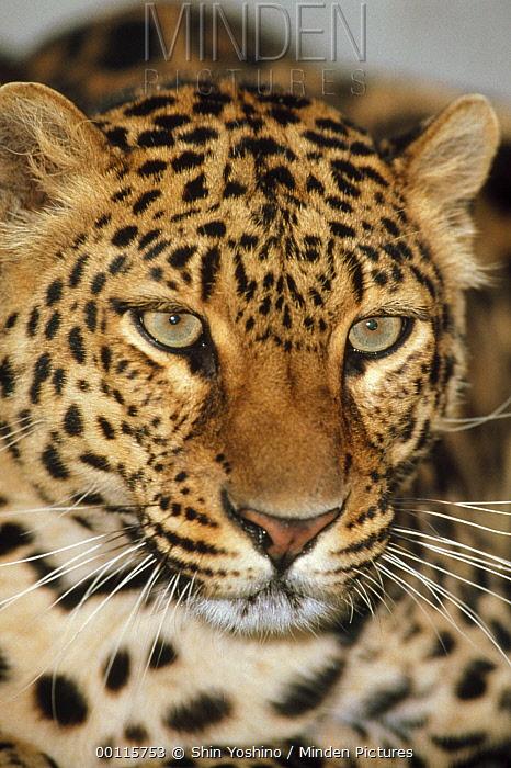 Leopard (Panthera pardus) portrait, Masai Mara National Reserve, Kenya  -  Shin Yoshino