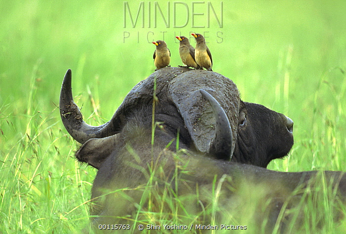Yellow-billed Oxpecker (Buphagus africanus) trio sitting on Cape Buffalo's (Syncerus caffer) head, Kenya  -  Shin Yoshino