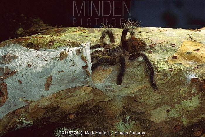 Tarantula (Theraphosidae) entering nest, Peru  -  Mark Moffett