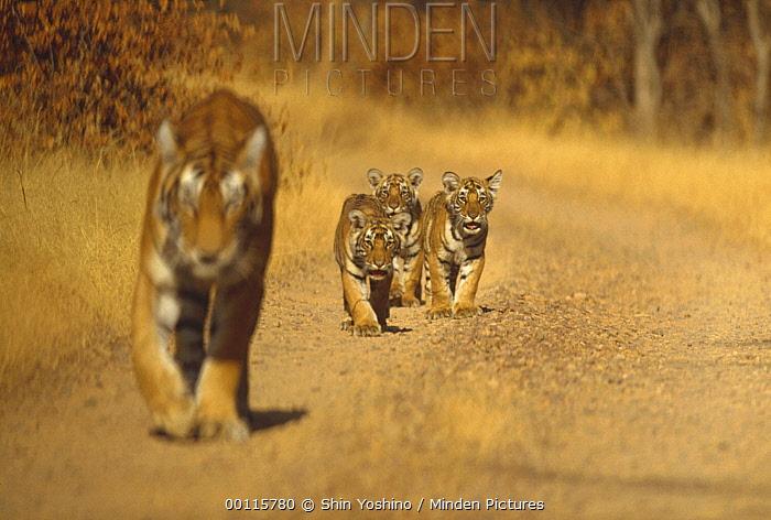 Bengal Tiger (Panthera tigris tigris) mother with three cubs, Ranthambore National Park, India  -  Shin Yoshino