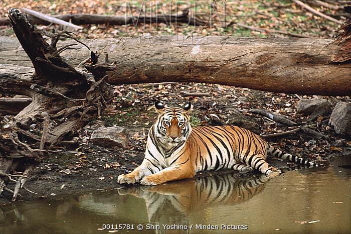 Bengal Tiger (Panthera tigris tigris) resting near waterhole, India  -  Shin Yoshino