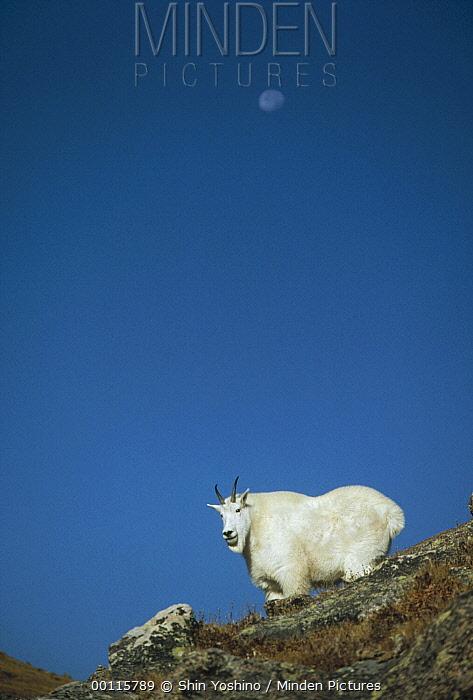 Mountain Goat (Oreamnos americanus) standing on cliff, Canada  -  Shin Yoshino