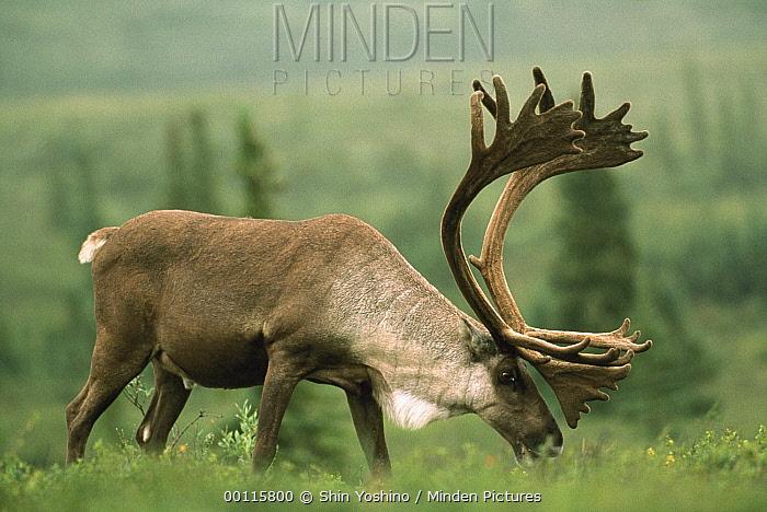 Caribou (Rangifer tarandus) bull grazing, Denali National Park and Preserve, Alaska  -  Shin Yoshino