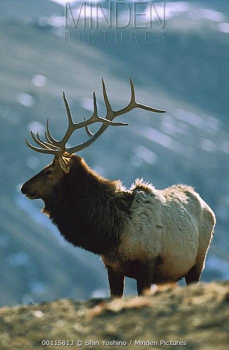 Elk (Cervus elaphus) male portrait, Yellowstone National Park, Wyoming  -  Shin Yoshino