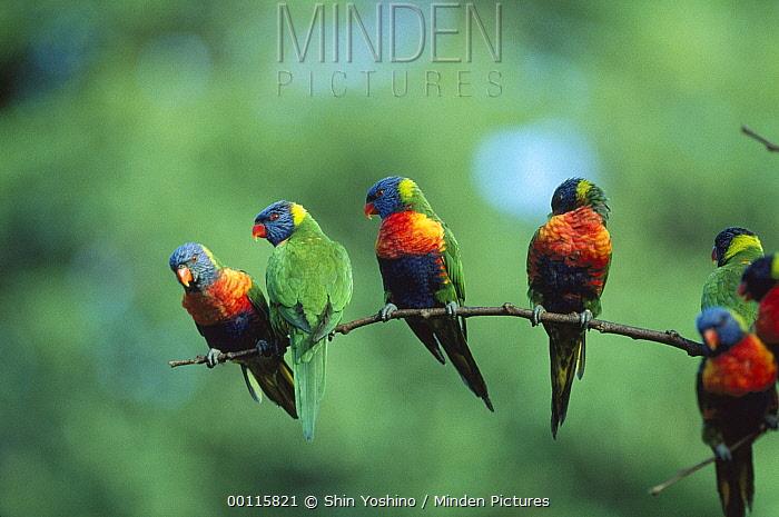 Rainbow Lorikeet (Trichoglossus haematodus) group on branch, Australia  -  Shin Yoshino