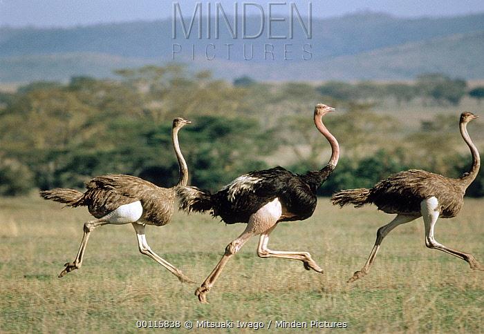 Ostrich (Struthio camelus) male and two females running, Serengeti National Park, Tanzania  -  Mitsuaki Iwago