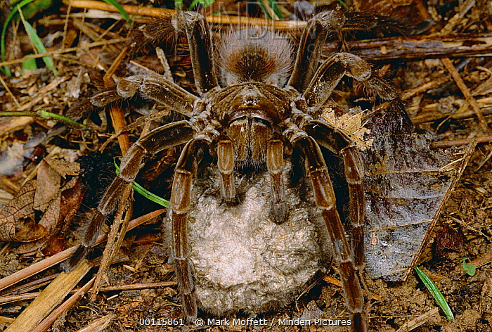 Tarantula (Megaphobema sp) female holding egg sac, Iquitos, Peru  -  Mark Moffett