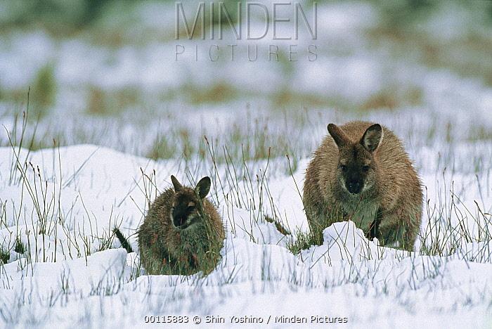 Wallaby (Macropus sp) adult with young in snow, Tasmania, Australia  -  Shin Yoshino