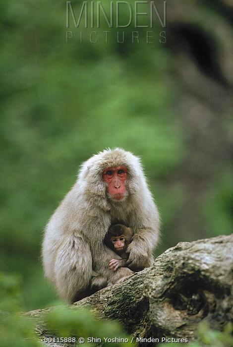 Japanese Macaque (Macaca fuscata) mother and baby, Japan  -  Shin Yoshino
