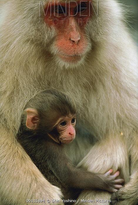 Japanese Macaque (Macaca fuscata) mother with baby, Japan  -  Shin Yoshino