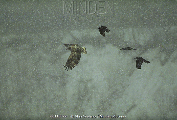White-tailed Eagle (Haliaeetus albicilla) being mobbed by a Common Raven (Corvus corax) flock, flying, Japan  -  Shin Yoshino