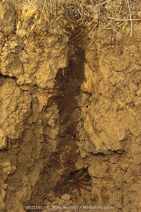 Tarantula Hawk (Pepsis sp) has laid a small white egg on a stunned Tarantula (Theraphosidae) and departed the burrow, California  -  Mark Moffett