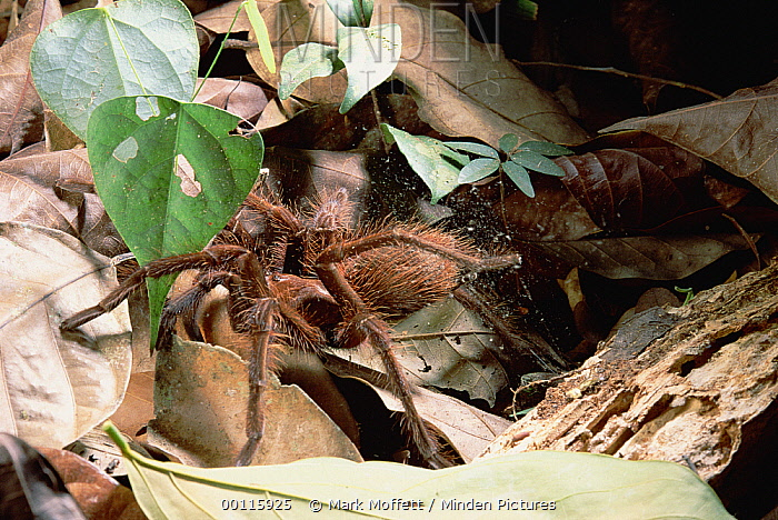 Tarantula (Pseudotheraphosa sp) surrounded by a cloud of barbed toxic hairs which it breaks off by brushing their abdomens with hind legs as a defensive move, Venezuela  -  Mark Moffett