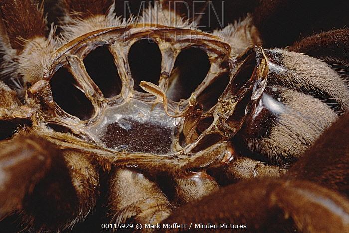 Yellow-kneed Tarantula (Selenocosmia javanensis) interior of shed skin showing holes from legs, Java  -  Mark Moffett