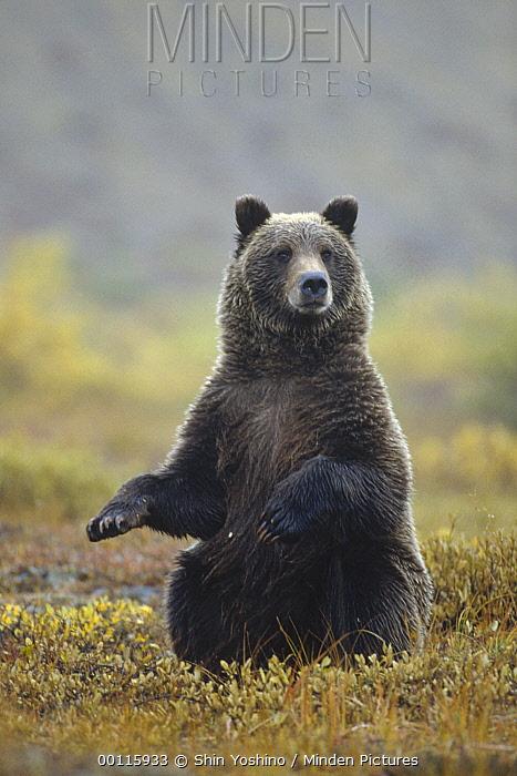 Grizzly Bear (Ursus arctos horribilis) sitting upright, Denali National Park and Preserve, Alaska  -  Shin Yoshino