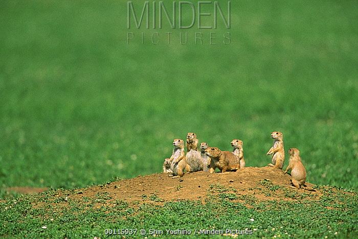 Black-tailed Prairie Dog (Cynomys ludovicianus) group at burrow entrance, North America  -  Shin Yoshino