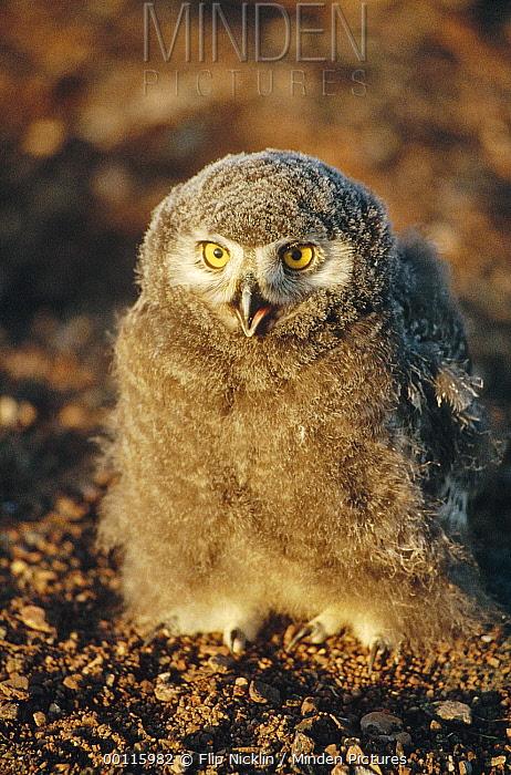 Snowy Owl (Nyctea scandiaca) chick portrait, Arctic  -  Flip Nicklin