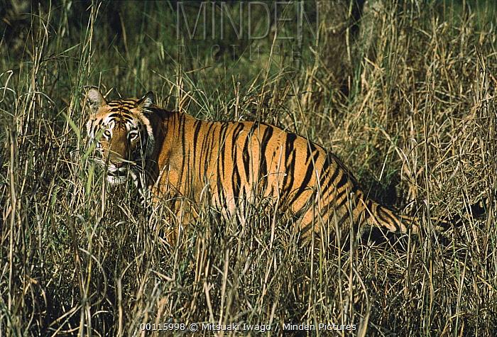 Bengal Tiger (Panthera tigris tigris) camouflaged in tall grass, India  -  Mitsuaki Iwago