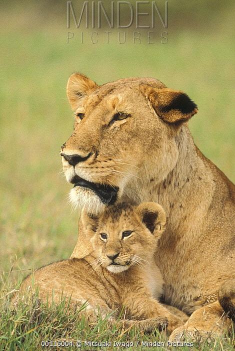 African Lion (Panthera leo) mother and cub, Serengeti National Park, Tanzania  -  Mitsuaki Iwago