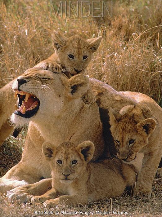 African Lion (Panthera leo) mother and cubs, Serengeti National Park, Tanzania  -  Mitsuaki Iwago