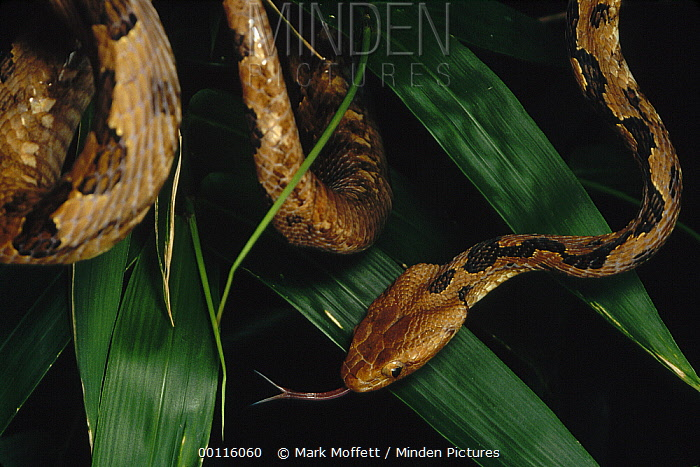 Colubrid Snake (Boiga sp) newly discovered species in vegetation with tongue extended, Tam Dao National Park, Vietnam  -  Mark Moffett
