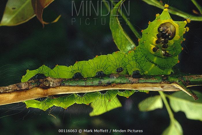 Caterpillar on branch, Tam Dao National Park, Vietnam  -  Mark Moffett