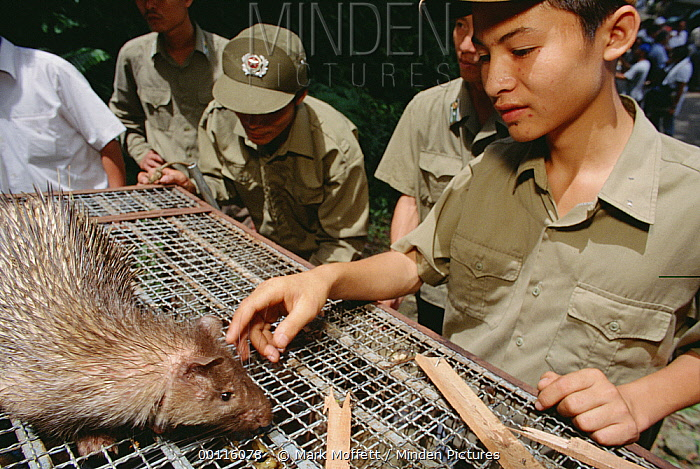 Asiatic Brush-tailed Porcupine (Atherurus macrourus) atop cage about to be released back into the wild by rangers, Tam Dao National Park, Vietnam  -  Mark Moffett