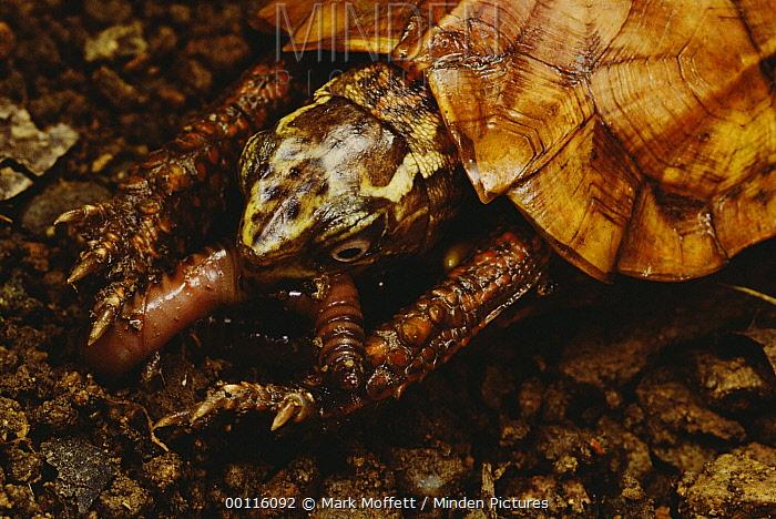 Black-breasted Leaf Turtle (Geoemyda spengleri) eating a worm, Tam Dao National Park, Vietnam  -  Mark Moffett