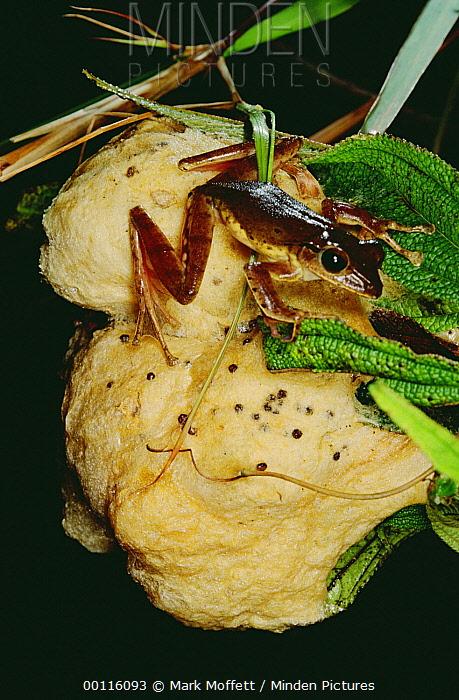 Frog (Anura) atop its egg mass, Tam Dao National Park, Vietnam  -  Mark Moffett