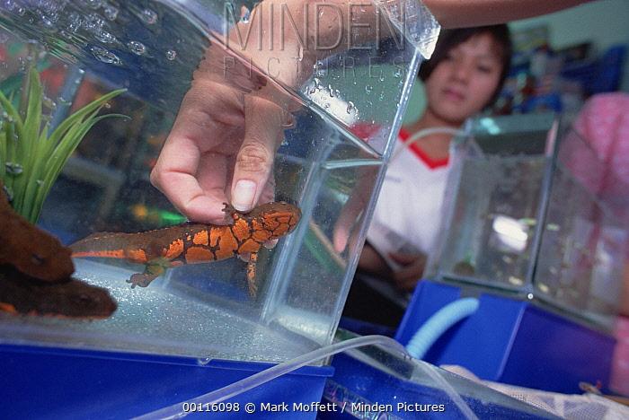 Tam Dao Newt (Paramesotriton deloustali) for sale in pet store, an endangered victim of the illegal pet trade, Tam Dao National Park, Vietnam  -  Mark Moffett