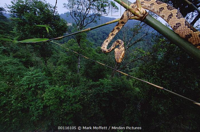 Colubrid Snake (Boiga sp) newly discovered species climbing from branch, underside view, Tam Dao National Park, Vietnam  -  Mark Moffett
