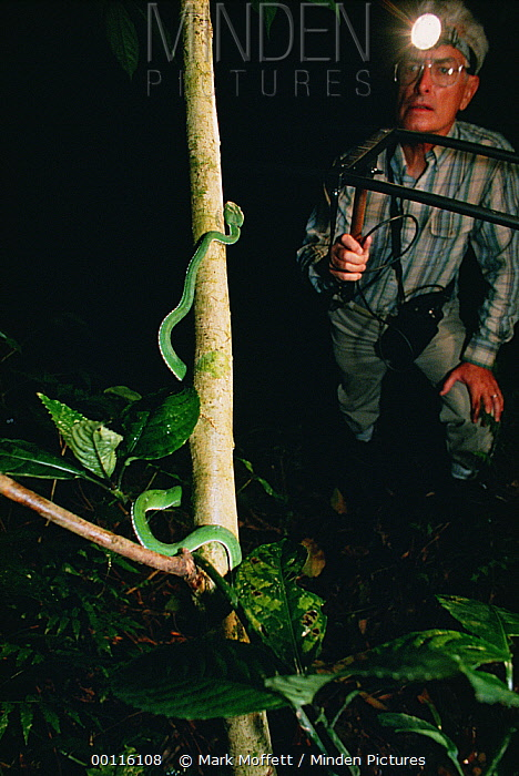 Asian Pit Viper (Trimeresurus sp) tracked with transmitter, Tam Dao National Park, Vietnam  -  Mark Moffett