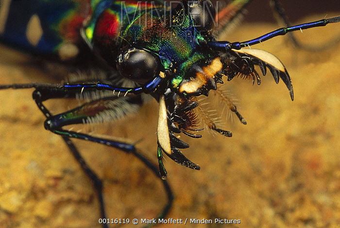 Tiger Beetle (Cosmodela aurulenta) face showing jaws spread wide, Tam Dao National Park, Vietnam  -  Mark Moffett