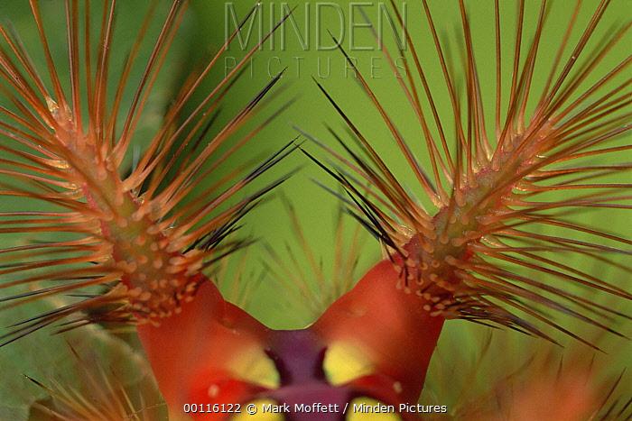 Slug Caterpillar (Setora fletcheri) spines loaded with toxins are erect when the animal is disturbed, Tam Dao National Park, Vietnam, sequence 2 of 2  -  Mark Moffett