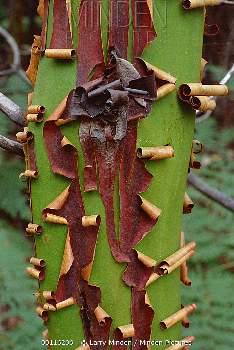 Madrone (Arbutus menziesii) exfoliating bark, California  -  Larry Minden