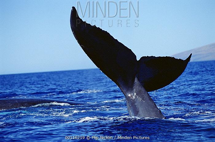 Humpback Whale (Megaptera novaeangliae) tail lobs, Maui, Hawaii  -  Flip  Nicklin