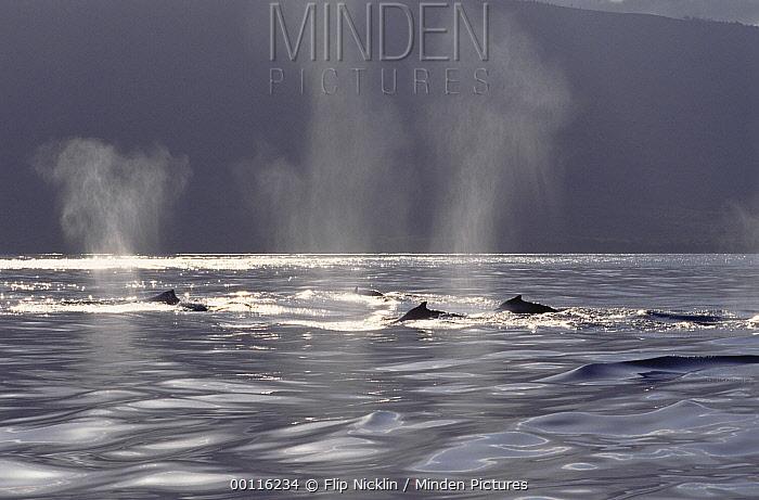 Humpback Whale (Megaptera novaeangliae) pod surfacing, Hawaii - notice must accompany publication; photo obtained under NMFS permit 987  -  Flip  Nicklin