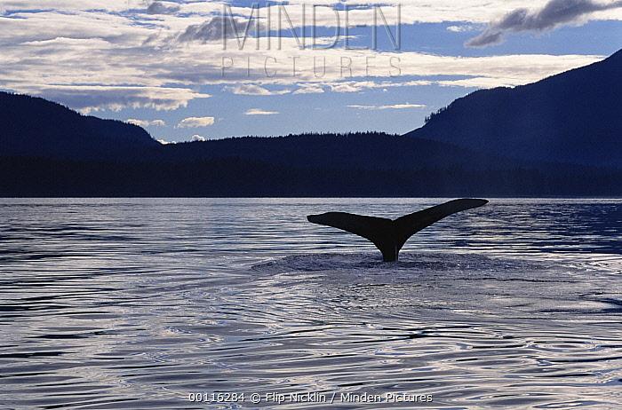 Humpback Whale (Megaptera novaeangliae) tail at sunset, Southeast Alaska  -  Flip  Nicklin