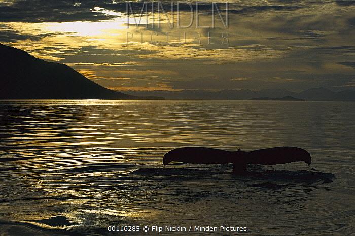 Humpback Whale (Megaptera novaeangliae) diving at sunset, southeast Alaska  -  Flip  Nicklin