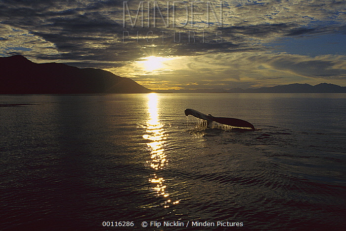 Humpback Whale (Megaptera novaeangliae) tail, sunset, Southeast Alaska  -  Flip  Nicklin