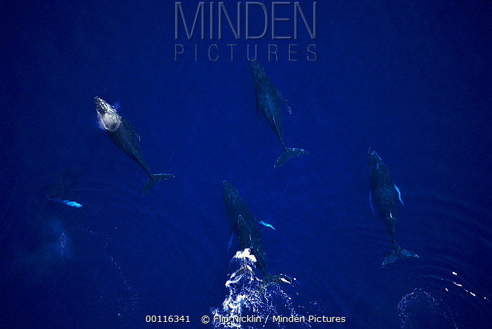 Humpback Whale (Megaptera novaeangliae) cow and calf with four males, Maui Notice must accompany publication; photo obtained under NMFS permit 987  -  Flip  Nicklin