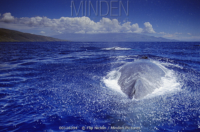 Humpback Whale (Megaptera novaeangliae) group, Hawaii - notice must accompany publication; photo obtained under NMFS permit 987  -  Flip  Nicklin