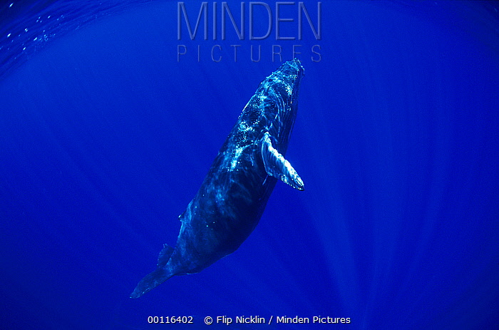 Humpback Whale (Megaptera novaeangliae) swimming, underwater, Maui, Hawaii - notice must accompany publication; photo obtained under NMFS permit 987  -  Flip  Nicklin