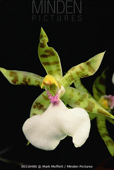 Orchid, Sipapo Tepui, Venezuela  -  Mark Moffett